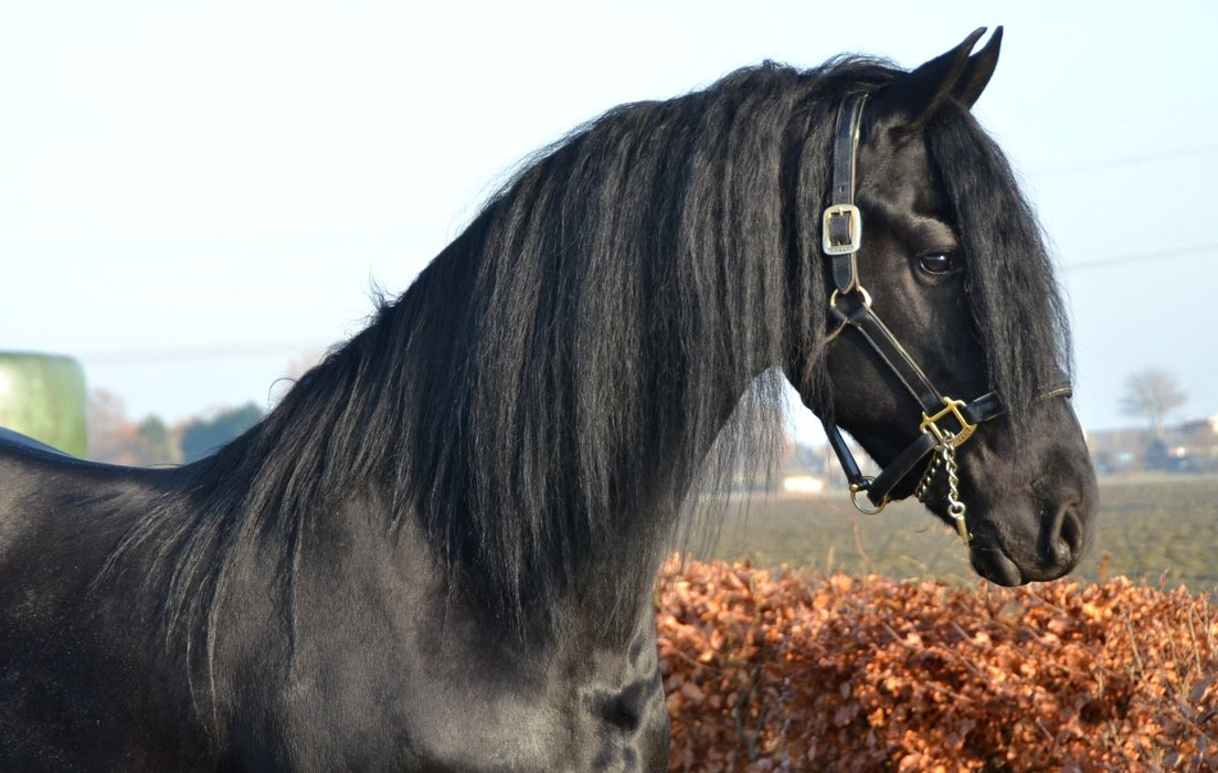 Tomke is sold to Miss. Cindy in Holland - Congratulations with this black beauty!
