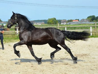 Sandra is sold to André and Jill in Norway - Congratulations with this beautiful pregnant mare!