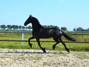 Queeny  is sold to Mexico - Congratulations with this Fantastic pregnant mare!!