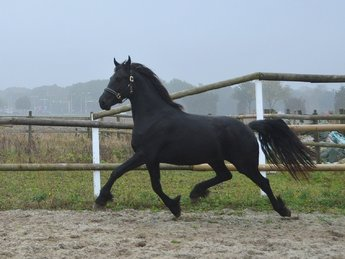 Trijntje - Thorben 466 Sport x Felle 422 Sport - Full papered 3 year old mare!