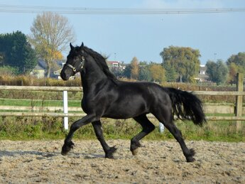 Titus is sold to Miss.Miranda in The Netherlands - Congratulations with this nice sports stallion!