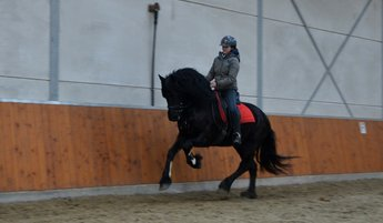 Sjoerd - Alke 468 Sport x Andries 415 Sport - Lovely looking gelding, well ridden and driven single and in pair!