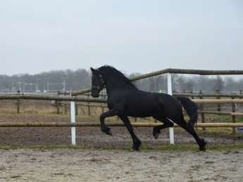 Vriend - Beart 411 Sport+Pref x Krist 358 - Fantastic moving stallion!!
