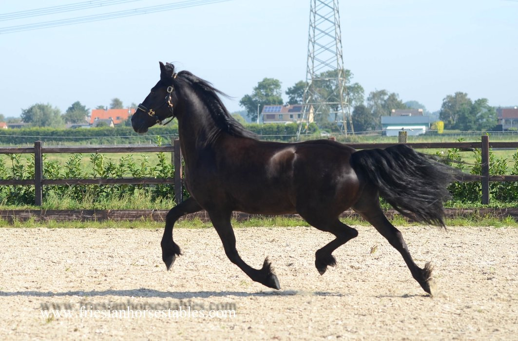 Anna is sold to Amanda and Peter in the UK - Congratulations with this beautiful pregnant mare!