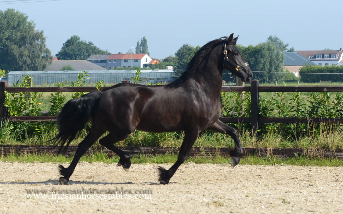 Anna - Alke 468 Sport x Bente 412 Sport - Very pretty mare with long manes and a gorgeous tail! In foal by Omer 493 - 16.2% Kinship which is very low!!