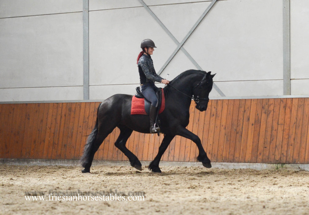 Aldert - Thorben 466 Sport-Elite x Abe 346 - Very nice classic looking stallion with a great personality!