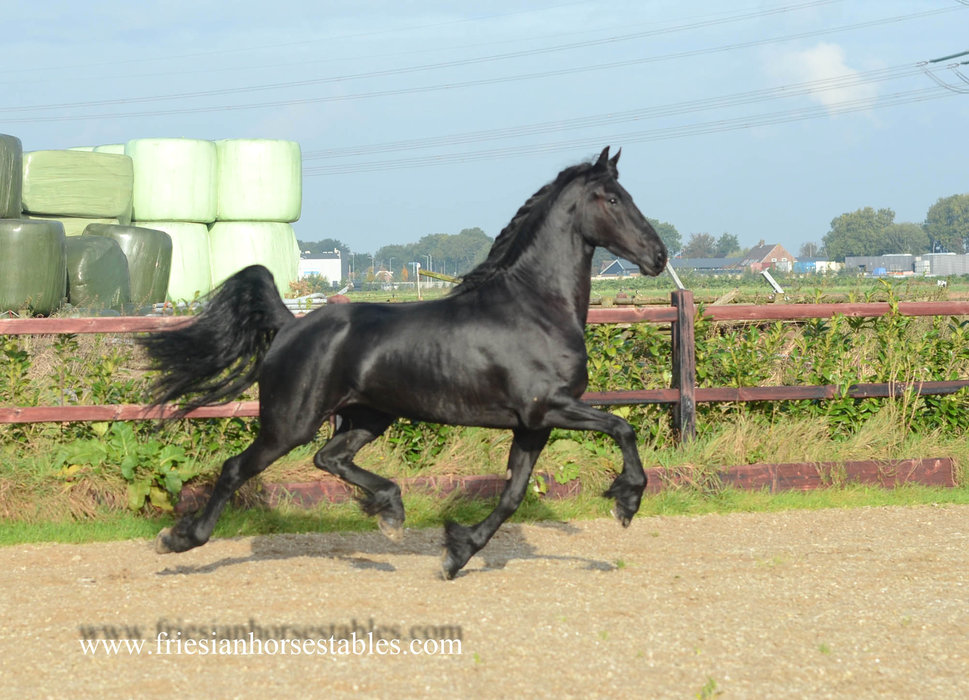 Benthe - Thorben 466 Sport-Elite x Onne 376 Sport - 3rd Premium full papered mare out of a KFPS Model mare!!