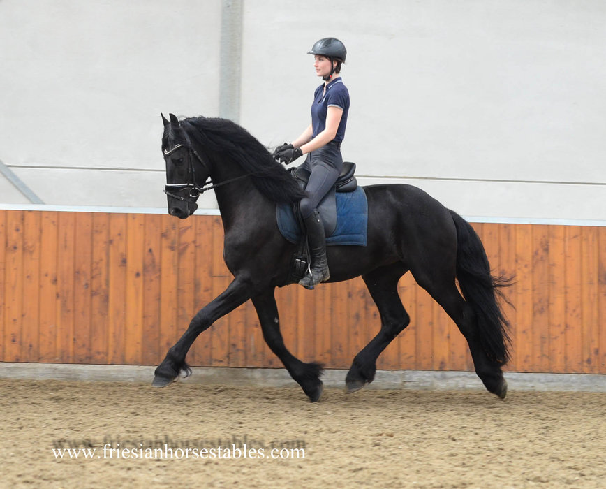 Ate - Djoerd 473 Sport x Ulbert 390 - Tall, gorgeous shaped friesian stallion!