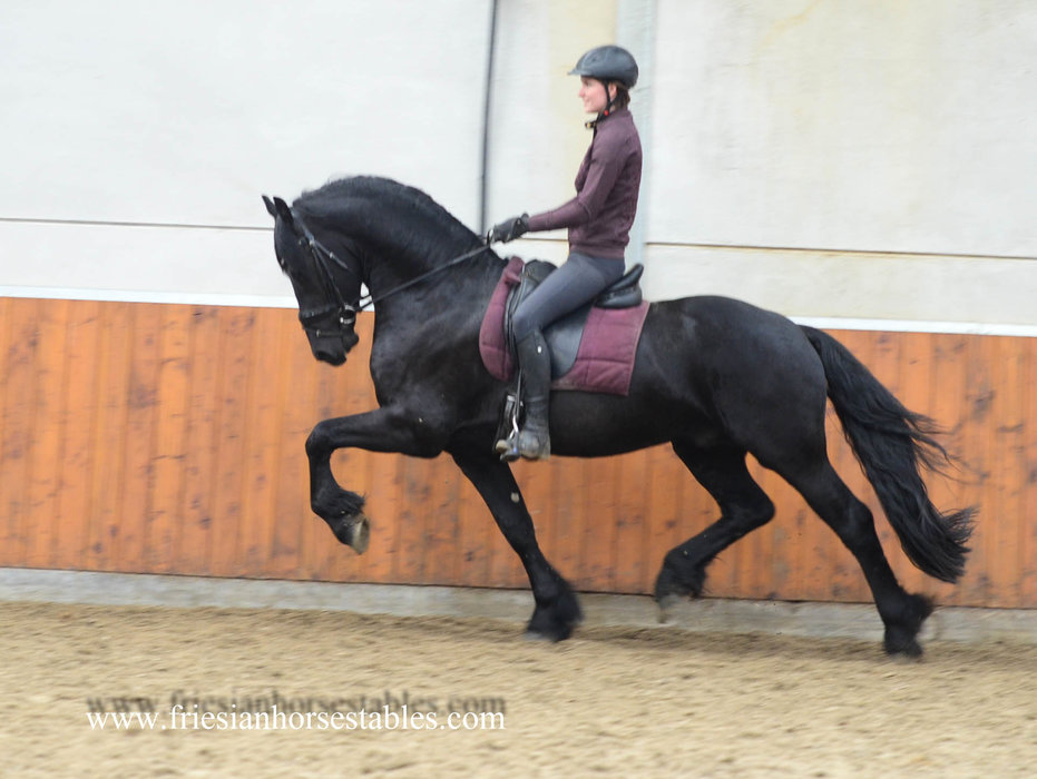 Bonne - Bartele 472 Sport x Dries 421 Sport - Very nice stallion with a gorgeous face!