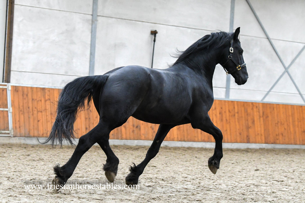 Bjinse - Thorben 466 Sport-Elite x Olgert 445 Sport-Elite - Modern hoogbening paard met krachtige bewegingen!