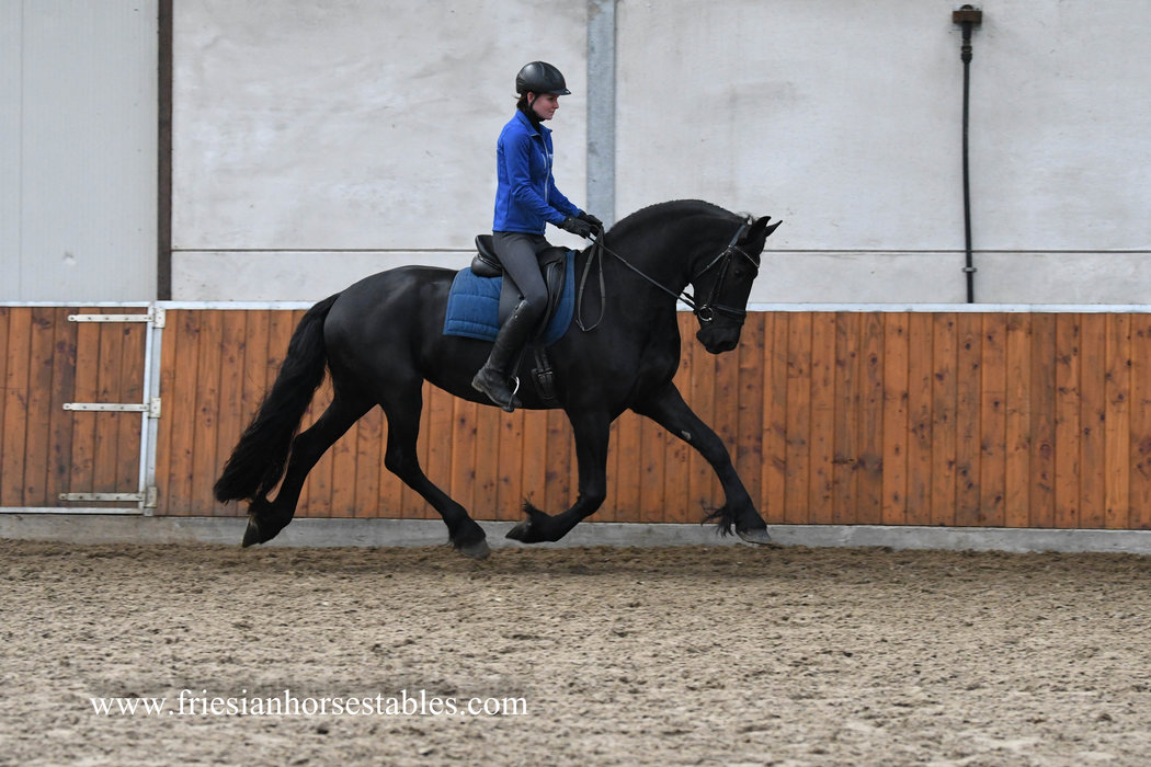 Aachje - Hessel 480 Sport x Mewes 438 - 3rd premium quality Studbook mare - Future Ster mare and Top Sports mare - Out of the mother line of CK Champion mare Janneke B KFPS Model mare!!
