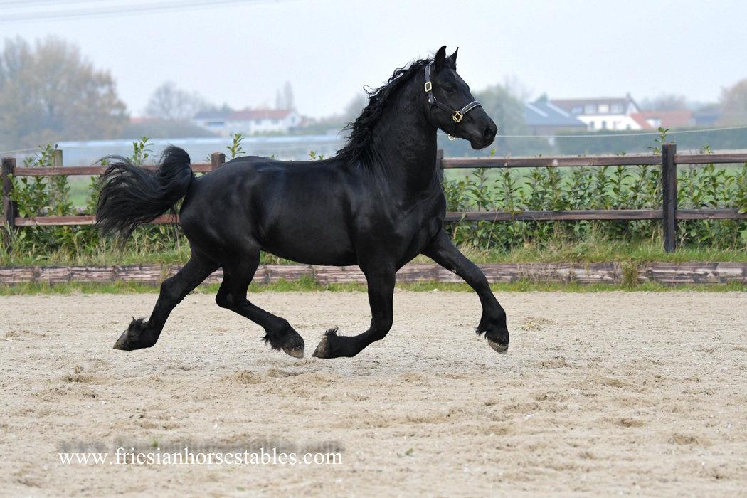Baldur - Wolfert 467 Sport x Ulke 338 Sport - Classic style friesian!!