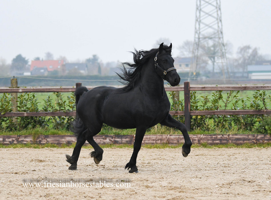 Balko is sold to Nina in Holland - Congratulations with this beautiful future sports horse!!