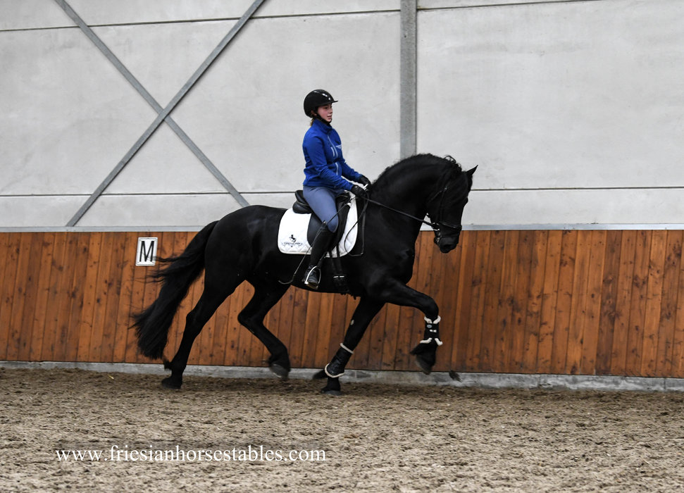 Wybo - Maurits 437 Sport x Tsjerk 328 Sport+Pref - High quality 3rd round Ster stallion!! L2 level ready!