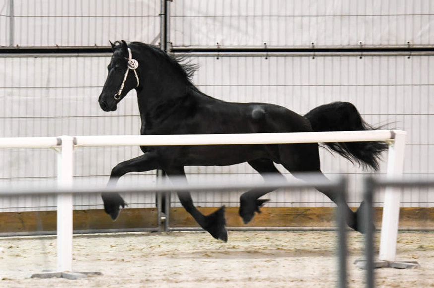 Bink - Alwin 469 Sport x Pier 448 Sport - Talented Ster stallion - selected for the half finals of the Friesian Talent Cup last year!!
