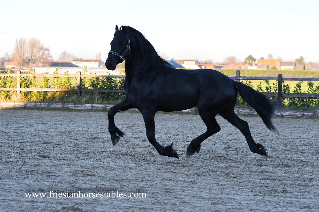 Elbert - Epke 474 Sport x Uldrik 457 - Majestic looking young stallion!