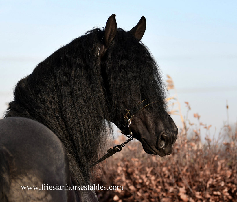 Detmar - Thorben 466 Sport-Elite x Tetse 394 Sport - Fairytale looking stallion with long manes, especially for his age!!