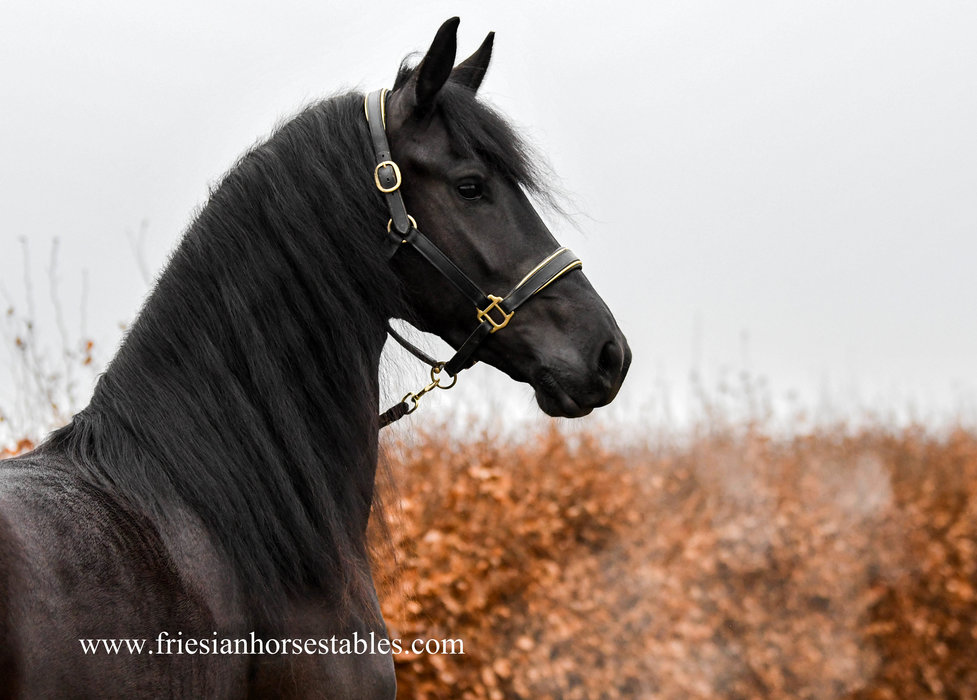 Anneke is sold to Anita in Germany - Congratulations with this very pretty mare!!