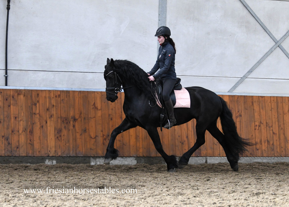 Tjitske is sold to Kathrin in Germany - Congratulations with this gorgeous full papered Ster mare!!