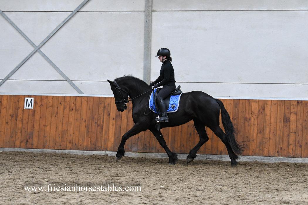 Calibra - Jouwe 485 Sport x Sape 381 Sport - Full papered Ster mare!!