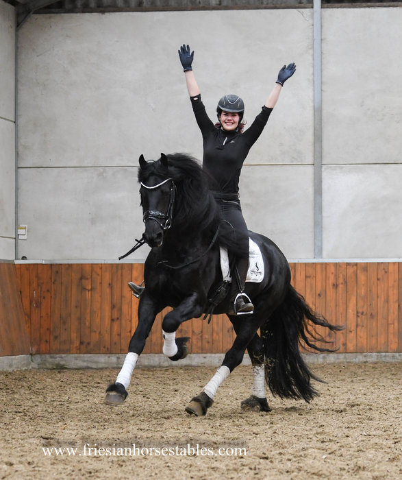 Wybren - Hessel 480 Sport x Rindert 406 Sport - Ster stallion - L1 level dressage with 5 winning points - Amazing Personality!!