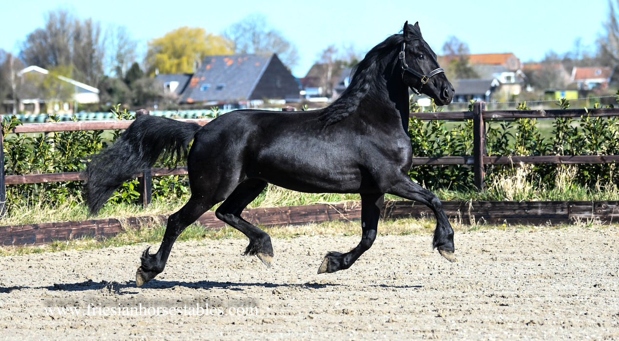 Unique - Aarnold 471 Sport x Norbert 444 Sport+Pref x Beart 411 Sport+Pref - Full papered Ster mare - Out of Prov. Crown mare - In foal by Tiede 501!!