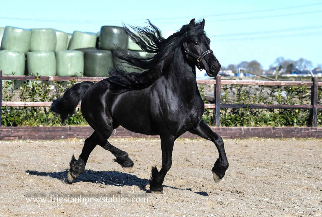 Detsje Minke is sold to Richelle in The Netherlands - Congratulations with this FAIRYTALE Looking Friesian Ster mare!!