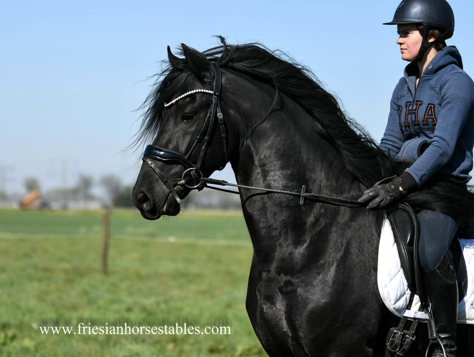 Bink is sold to Patricia and John in The USA - Congratulations with this very pretty Ster stallion!!