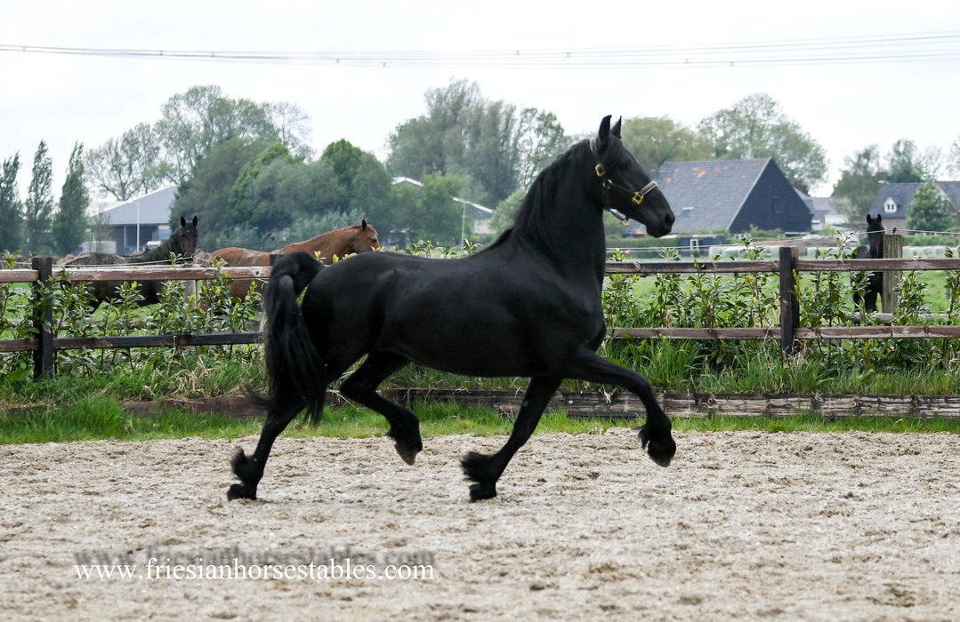 Reny - Wimer 461 Sport x Fridse 423 Sport x Jakob 302 Sport - Full papered interesting bred Ster mare out of a Great motherline!!
