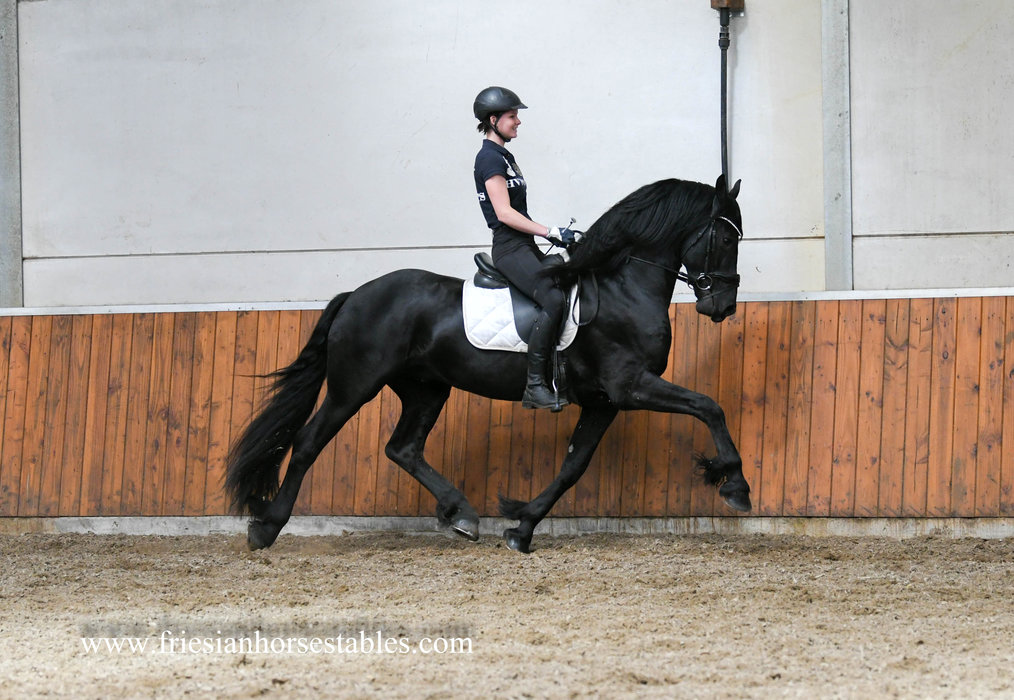 Ewoud - Meinte 490 Sport x Andries 415 Sport - AA Status stallion - scored 77 and 78 points in the ABFP Test!!