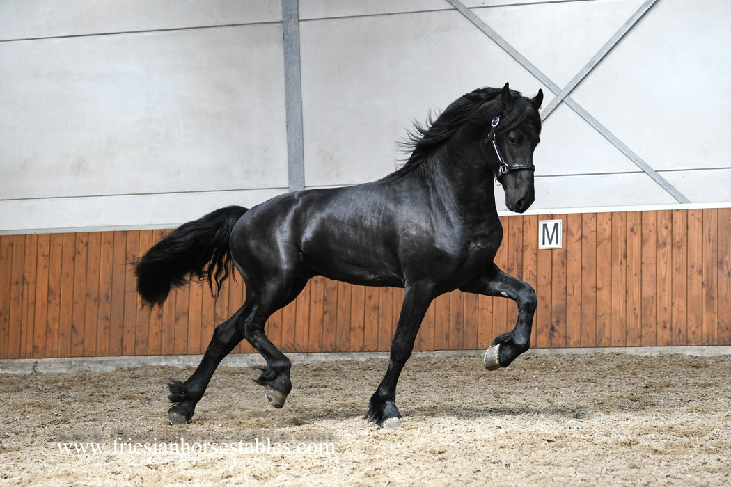Duco is sold to Anika and Marcus in Holland - Congratulations with buying this beautiful Ster stallion!!