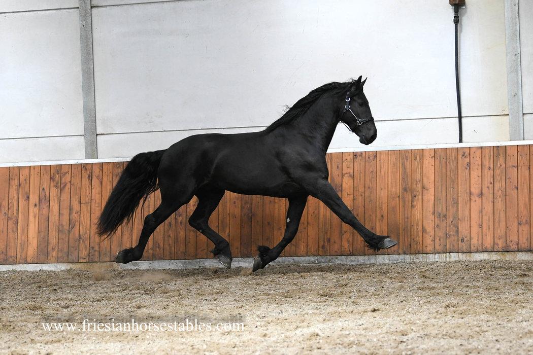 Daen - Hessel 480 Sport x Sape 381 Sport - Ster hengst met veel expressie en talent voor de sport!!