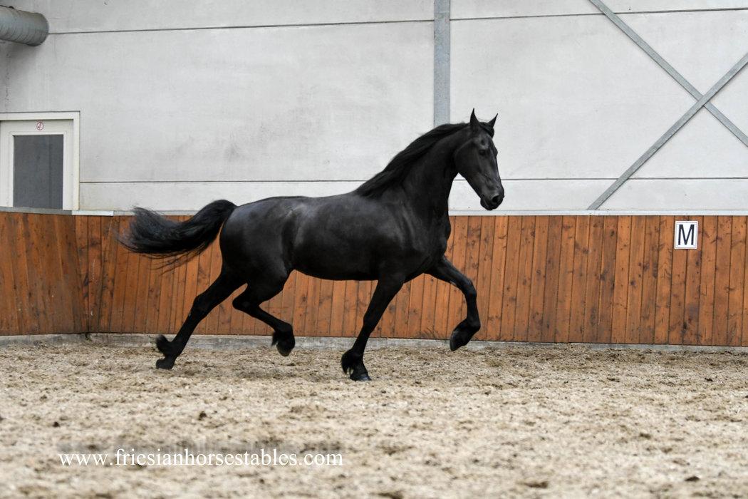 Freule - Hessel 480 Sport x Maeije 440 Sport - 3rd premium Studbook mare with superb movements!!