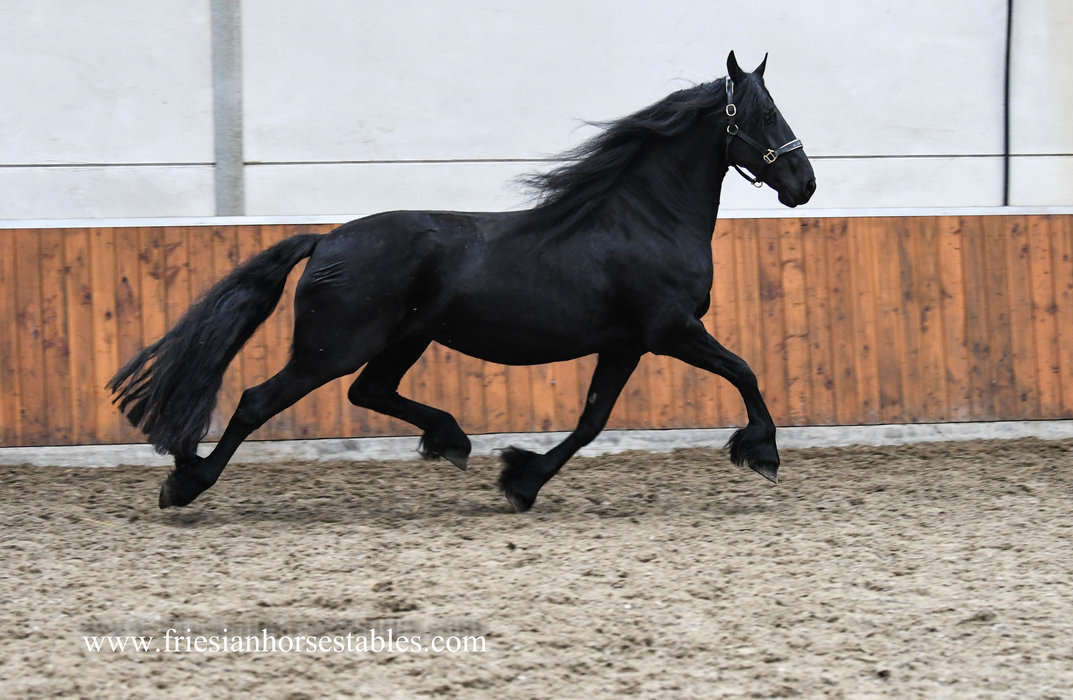 Thialda - Beart 411 Sport+Pref x Gjalt 426 Sport - Impressive Tall Ster mare with a colt sired by Tsjalle 454 Sport-Elite+Pref - Bred back by Nane 492 Sport for 2021!!
