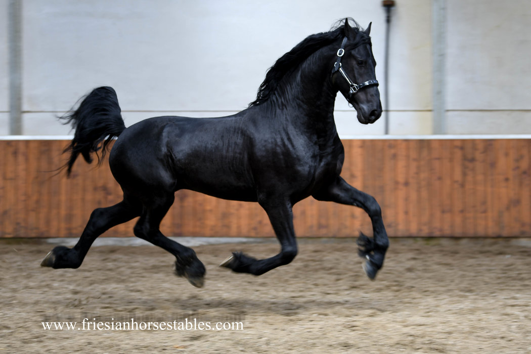 Ducati is sold to Jenny in Sweden - Congratulations with this fantastic Ster stallion!!