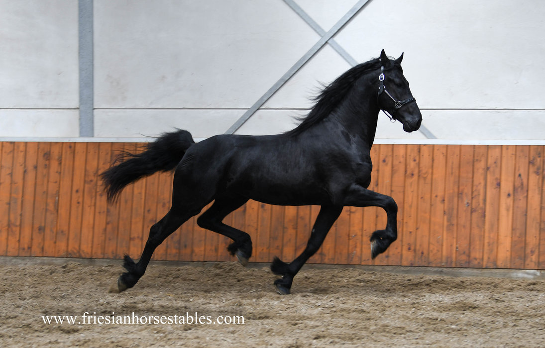 Donar is sold to Joyce and Sabine in The Netherlands - Congratulations with this fairytale Ster stallion!!