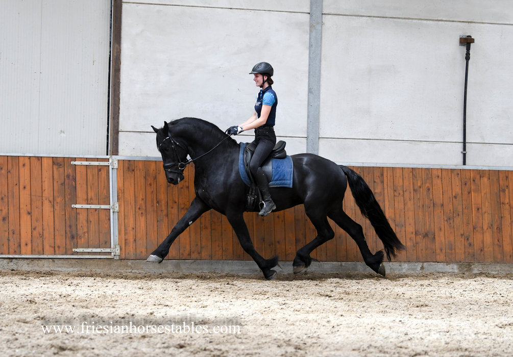 Fito - Eise 489 Sport-Elite x Tjalbert 460 - Stallion AA Status - 77,5 / 80,5 ABFP points out of a Model mare!!