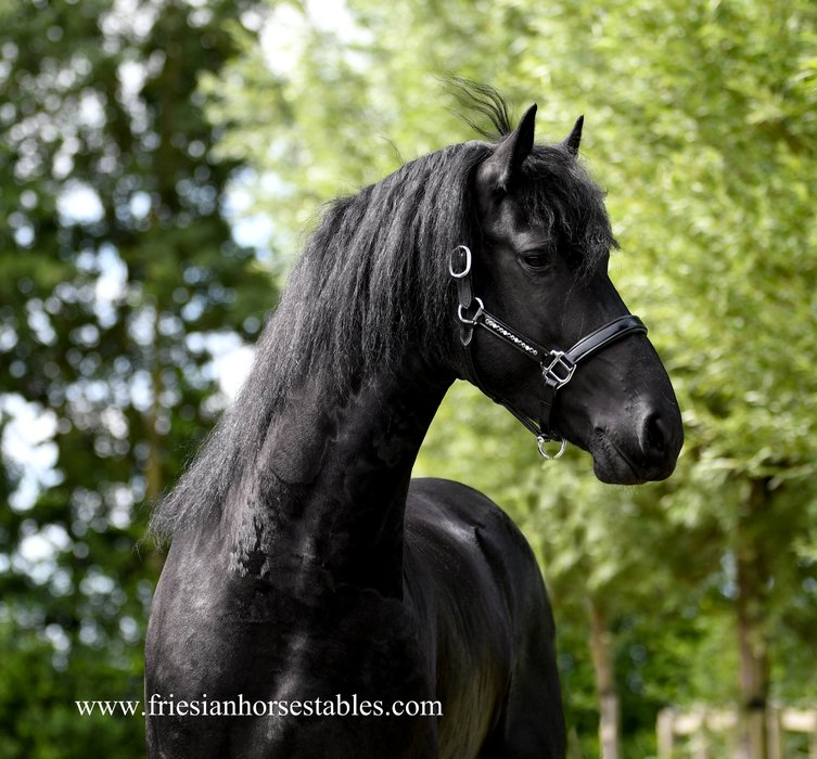 Frits is sold to a lucky new owner in the USA - Congratulations with this fantastic horse!!