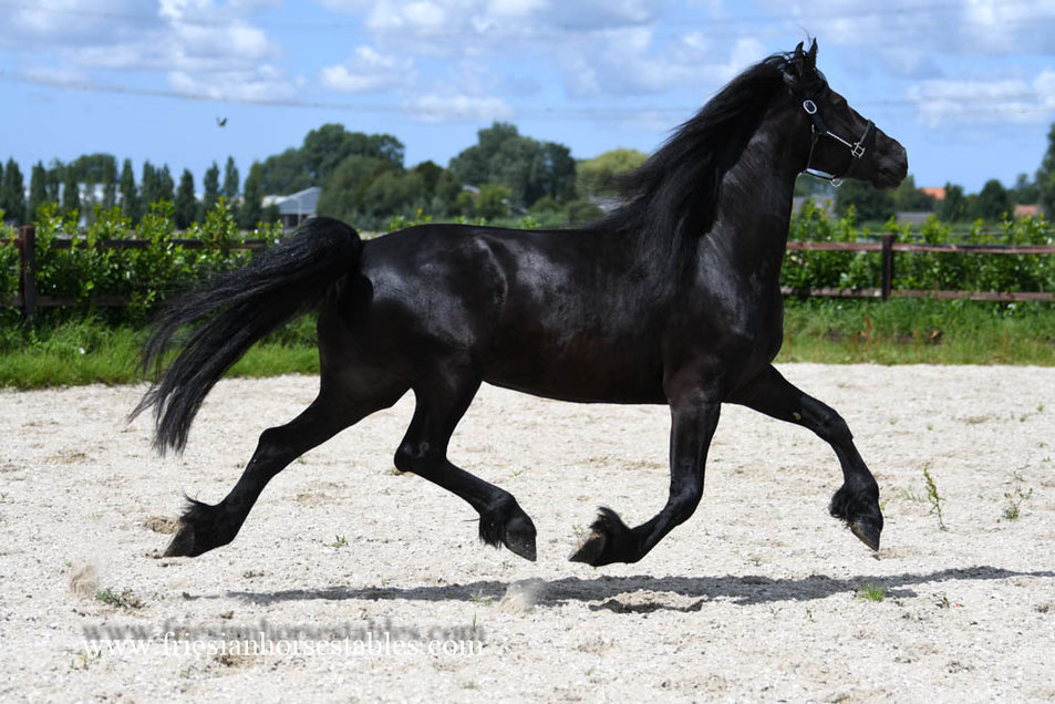 Berber - Norbert 444 Sport+Preferent x Anton 343 Sport+Preferent - 3rd Pr. studbook mare with full papers and in foal by Teun 505!!