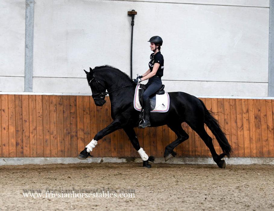 Douwe - Hessel 480 Sport x Beart 411 Sport+Pref - Tall, impressive, great moving STER stallion!!