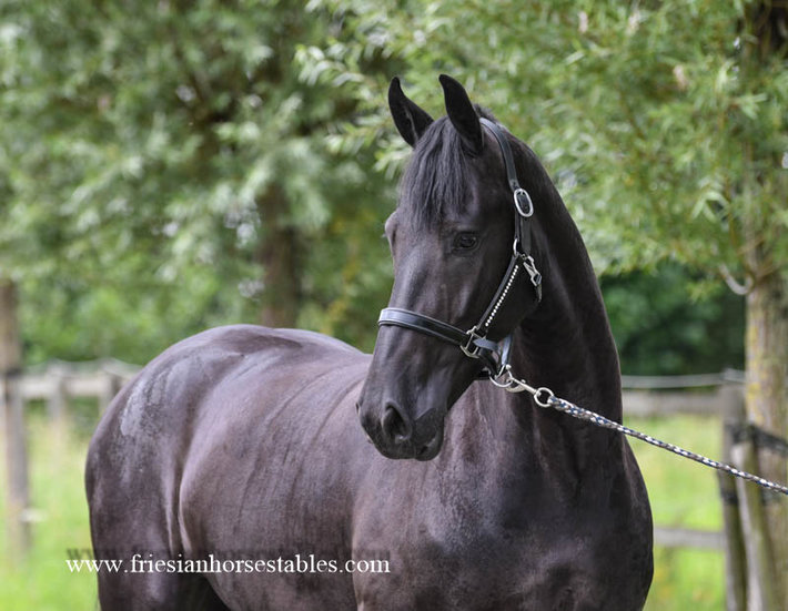 Charlotte is sold to Gwen in Holland - Congratulations with this beautiful pregnant mare!!