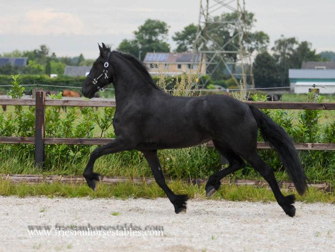 Elise - Thorben 466 Sport-Elite x Sjerp 446 Sport AA x Olof 315 Sport+Pref - Excellent moving Ster mare!!