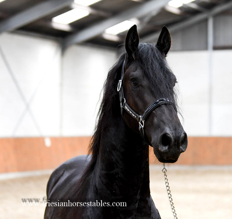 Fernando is sold to Christel in Holland - Congratulations with this handsome, great moving gelding!!