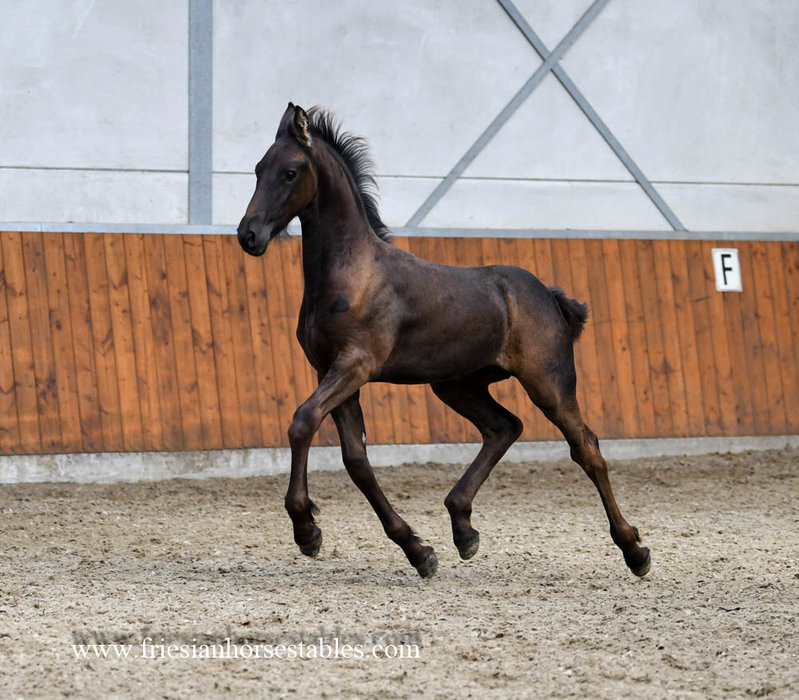 Thialda is sold to Lynsey in Scotland - Congratulations with this pretty tall Pregnant Ster mare!!