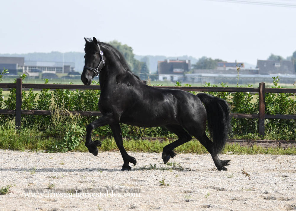 Sloerie - Maurits 437 Sport x Fetse 349 Sport - STER AA mare - IBOP of 80 Points, Half finalist in 2017 at the PAVO Phryso Competition - In foal by Arent 515 for 2021!!
