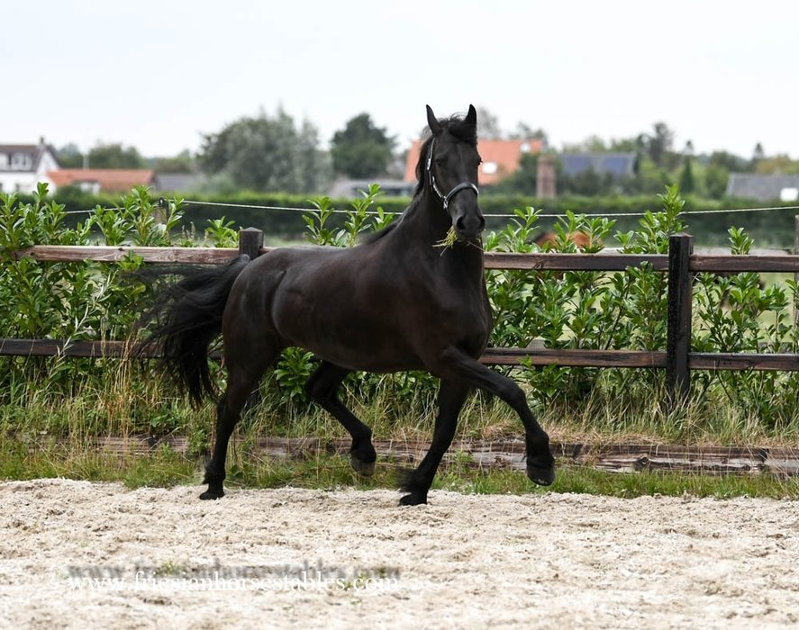 Feike is sold to Bianca in The Netherlands - Congratulations with this fantastic moving mare!!
