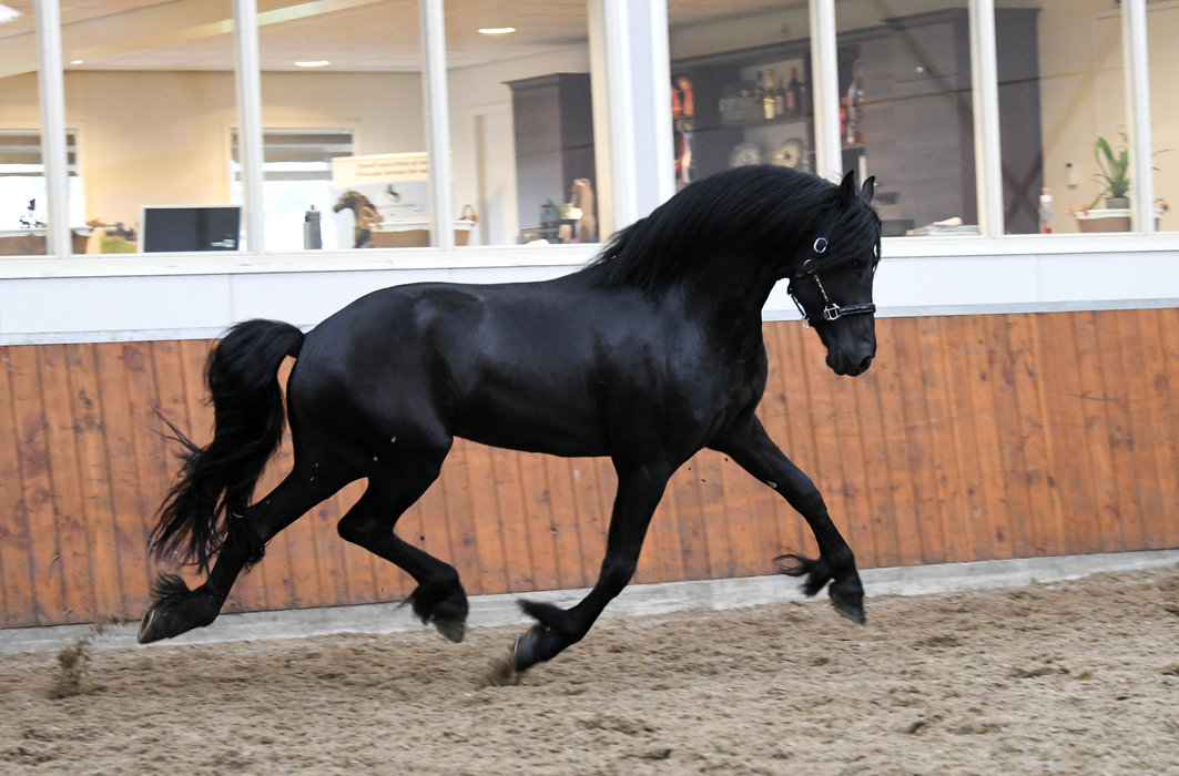 Friso - Alwin 469 Sport x Norbert 444 Sport+Pref - FAIRYTALE Ster stallion - He was at the last 50 for approval!