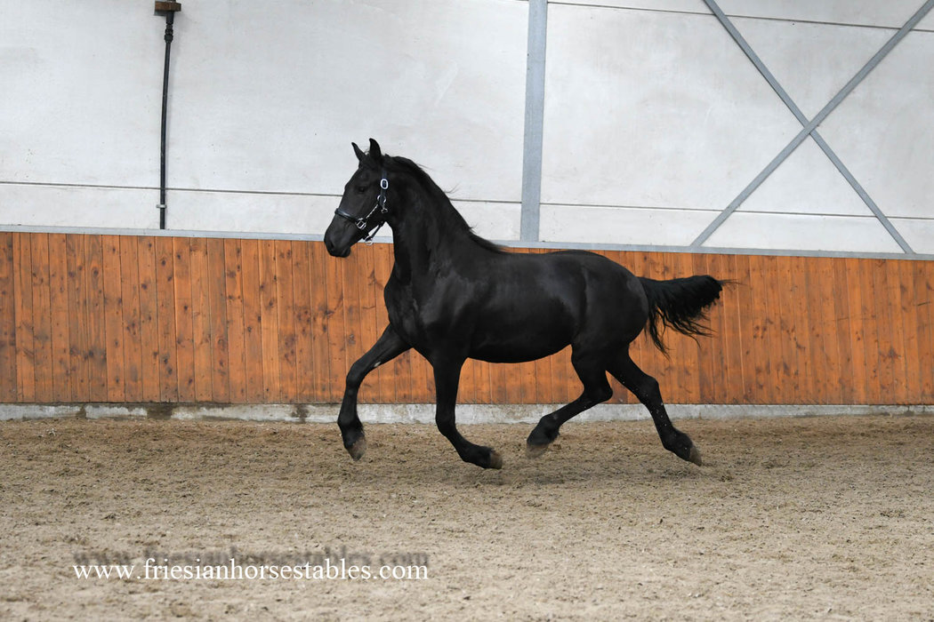 Lilie - Tymen 503 Sport x Feitse 293 Pref - Full papered yearling mare out of the Synaeda line!!