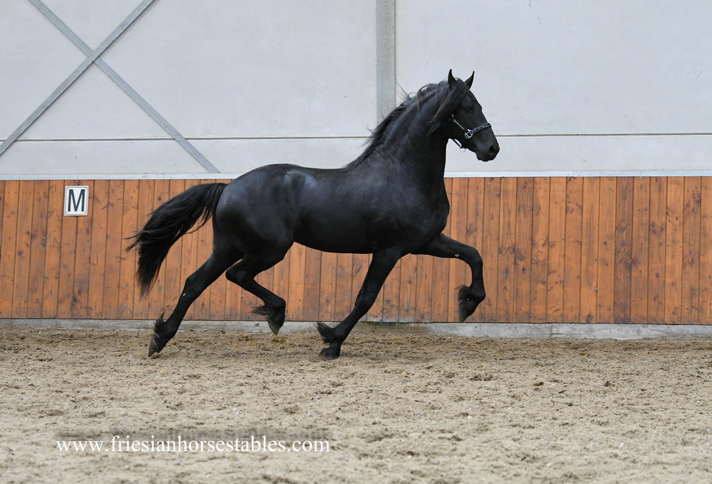 Groovy - Jehannes 484 Sport x Rindert 406 Sport x Melle 311 Sport - Fantastic looking and great moving 2,5 year old stallion out the motherline of Beart 411 Sport+Pref!!