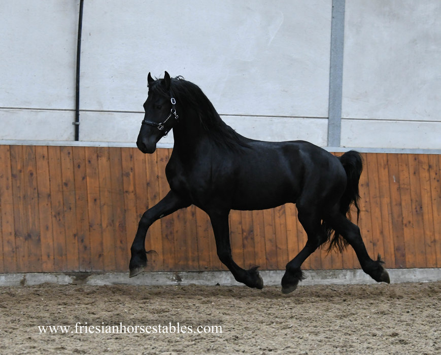 Dennis - Alwin 469 Sport x Tsjalke 397 - Very pretty looking stallion with great movements as well!!